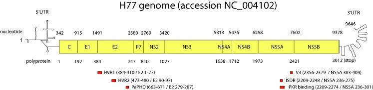 genome study of the hepatitis c virus hcv Microb comp genomics 20005(3):129-51 genome of human hepatitis c virus ( hcv): gene organization, sequence diversity, and variation kato n(1.